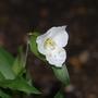 "Commelina coelestis ""Alba"" (Commelina coelestis (Blue Spiderwort))"