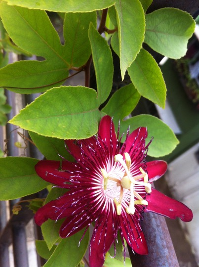 Monsoon Passion (Passiflora incarnata)