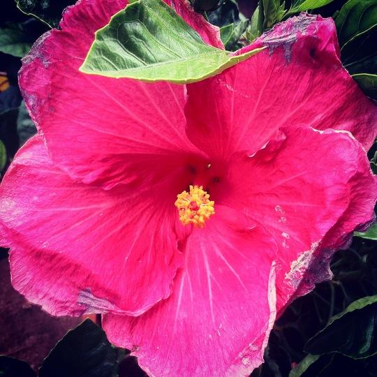 Rosa...! (Rosa sinensis)