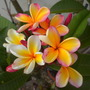 Plumeria 'California Sunset' Flowers (Plumeria 'California Sunset' Flowers)
