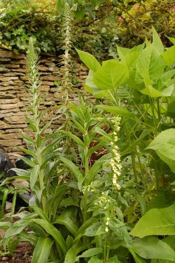 Digitalis lutea and parviflora (Digitalis lutea (foxglove))