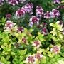 Thyme & Thyme again! (Thymus vulgaris)