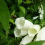 white foxglove and bee