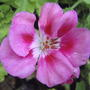 Pink geranium