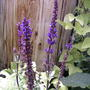 Blue sage (Salvia nemorosa 'Blue Queen')