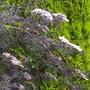 Sambucus nigra in contrast to golden fir (Sambucus nigra (Black Elder))