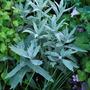 Artemisia ludoviciana Valerie Finnis. (Artemisia ludoviciana Valerie Finnis.)
