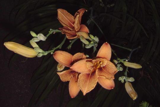 Daylilies (Hemerocallis fulva (Chin Chen TsAi))