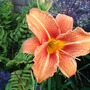 Day Lily in The Border