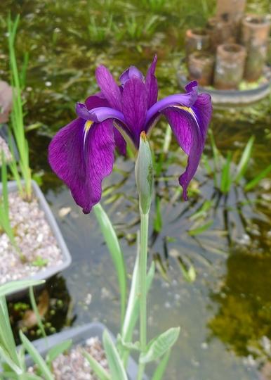 Iris laevigata 'Variegata' - 2013 (Iris laevigata)