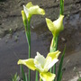 Iris Butter and Sugar the last to blossom