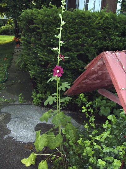 Hollyhocks are beginning to flower (Alcea rosea (Black Hollyhock))