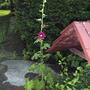Hollyhocks are beginning to flower (Alcea rosea (Black Hollyhock))