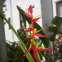 Heliconia scheideana - Claw Flower Flower Bracts/Flowers (Heliconia scheideana - Claw Flower)