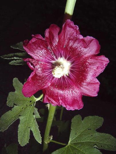 First bloom!! (Alcea rosea (Black Hollyhock))