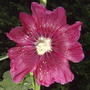 Somewhere inbetween a red & a dark pink.... (Alcea rosea (Black Hollyhock))