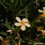 Nerium oleander (Nerium oleander (Rose Bay))