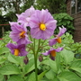 Potato Flower (Maris Peer, I think!)