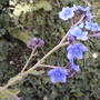 Chinese Forget-me-not (Cynoglossum amabile)