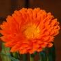 calendula,orange prince