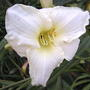 Another bloom on 'Cool it' (Hemerocallis 'Cool It')