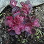 This is my Iresine (Bloodleaf), Chris; it is in the front garden. (Iresine)