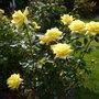 Rosa Granpa Dickson .... Smiling in the sunshine