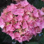Hydrangea_teller_pink_bloom