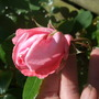 Rosa_