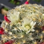 Mammillaria schiedeana plumosa, with flowers and berries.