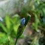 Orthrosanthus_laxus