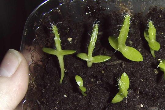Dragonfruit seedlings are growing....slowly,,, (Hylocereus undatus)