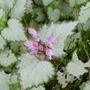 Lamium 'Pink Chablis' (Lamium maculatum 'Pink Chablis')
