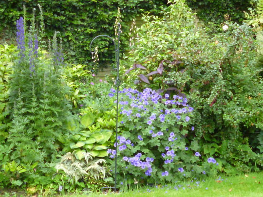 A full bed (Aconitum napellus (Monkshood))