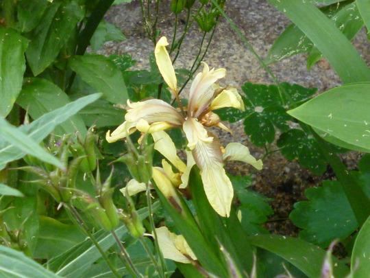 Iris foetidissema (Iris foetidissima (Stinking Iris))