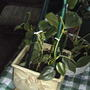 Philodendron scandens ssp. oxycardium - Heart-leaf Philodendron (Philodendron scandens ssp. oxycardium)
