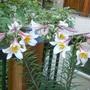 regal lilies