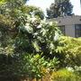 Monstera deliciosa (Split-leaf-Philodendron)  (Monstera deliciosa (Split-leaf-Philodendron))