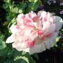 Poppy in my garden