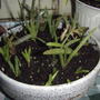 Young aloe transplants are doing well. (Aloe vera (Aloe))
