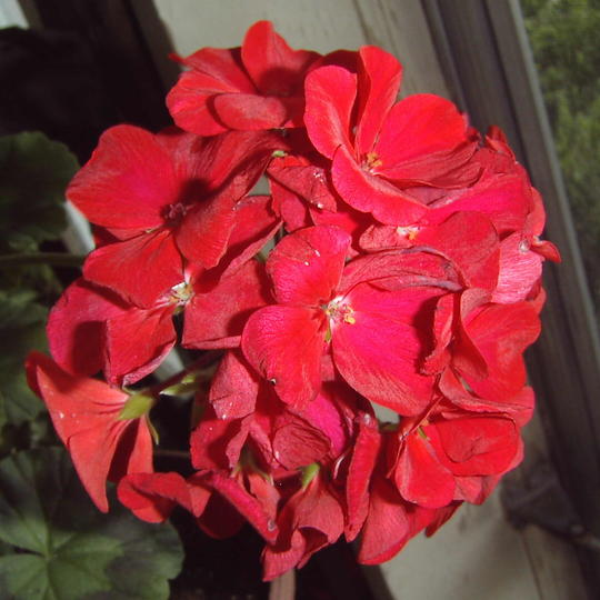 Red geranium (Pelargonium hortorum)