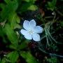 orthrosanthus laxus (Orthrosanthus laxus)