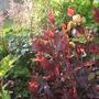 Red Dragon Persicaria
