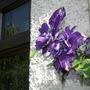 """The """"odd"""" double in Spritz' clematis"""