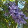 Jacaranda mimosafolia - Jacaranda Tree Flower (Jacaranda mimosafolia - Jacaranda Tree)