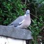 Pigeon in my garden