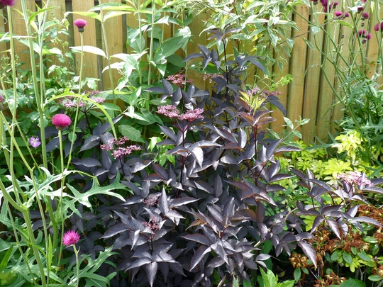sambucus 39 black beauty 39 grows on you. Black Bedroom Furniture Sets. Home Design Ideas