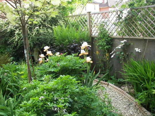 Front garden with clematis Guernsey Cream
