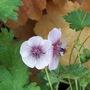 "Geranium Lambertii ""Swansdown"" (Geranium lambertii)"