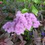 Thalictrum Purple Cloud